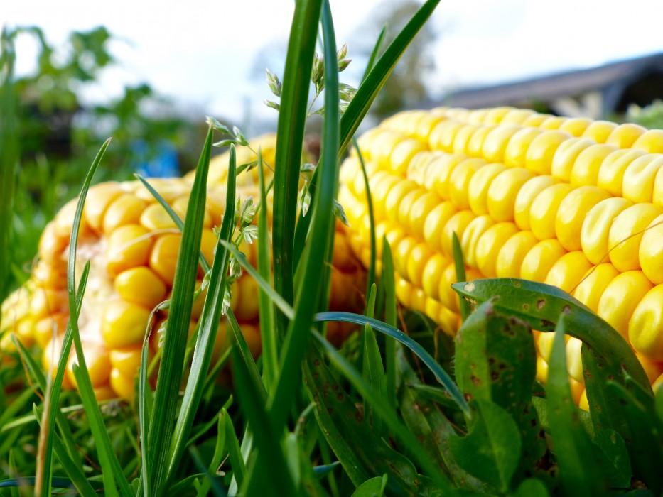 Le Labyrinthe de Pont-aven et sa ferme parc de loisirs nature finistère aménagement le maïs le potager pédagogique